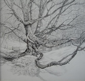 The Old Beech. Pencil and Graphite (Sold)